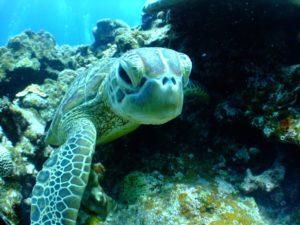 Tortugas en su medio Natural en La Riviera Maya. Flora y Fauna en La Riviera Maya